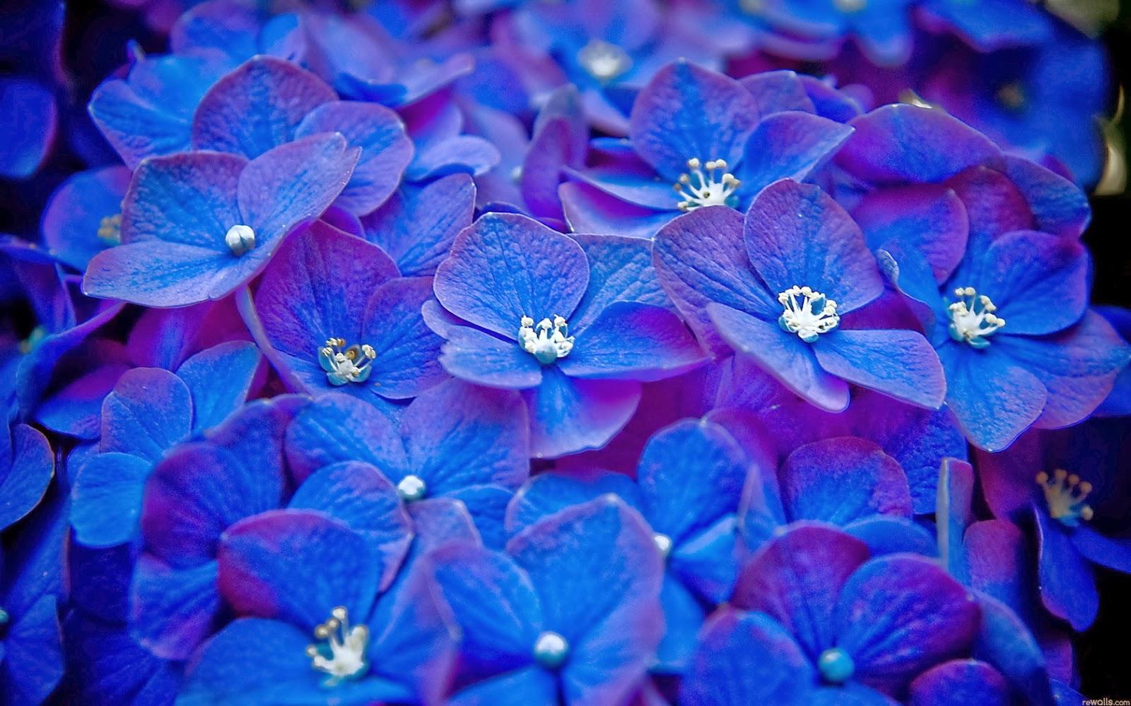 Flores Hortensias Azules Las Flores De Hortensia Son Llamativas En