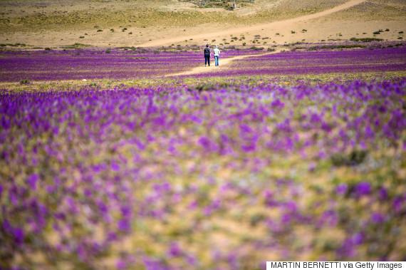 Άνθισε η πιο ξερή έρημος του κόσμου, έπειτα από απρόσμενη βροχή