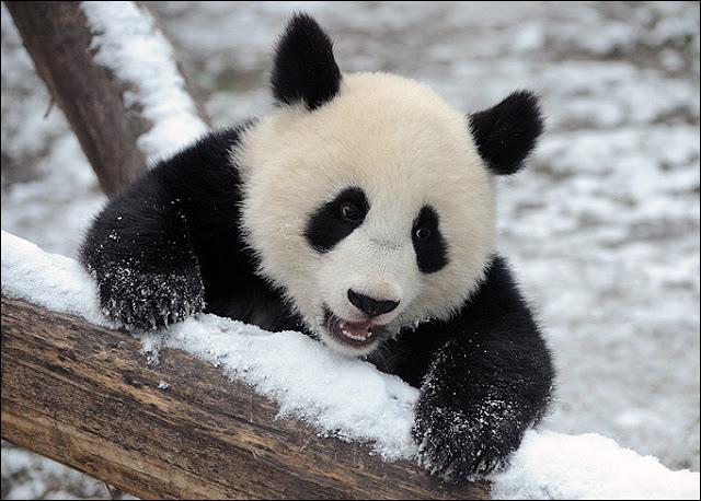 Cute Baby Panda Pics