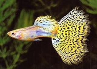أسماك الطاووس الصينية الرائعة الجمال سبحــــــان الله image0077-730247.jpg
