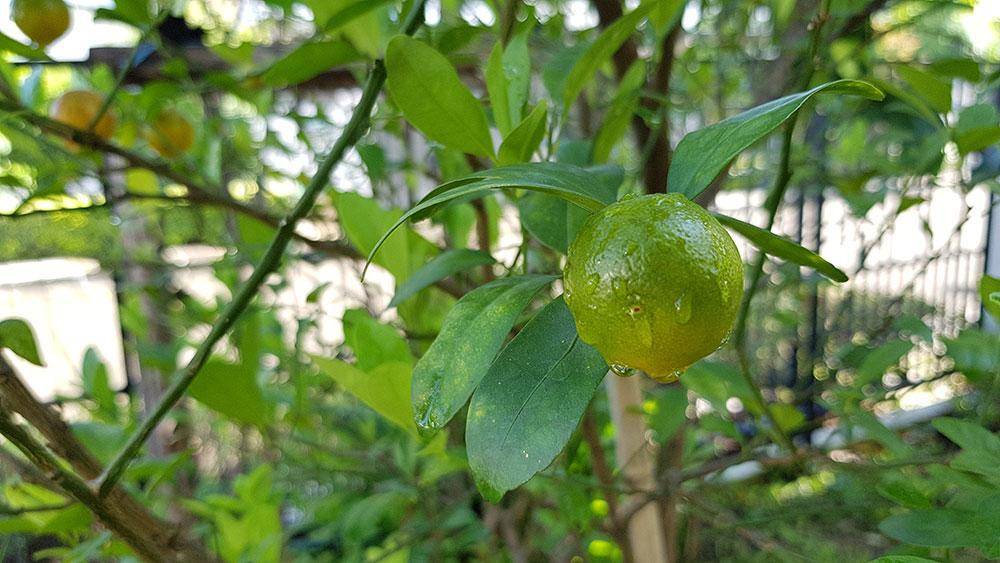 ผลของต้นส้มจี๊ด