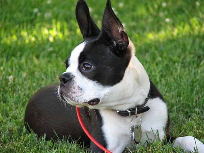 Mira Razas De Perros Pequeños De Pelo Corto Super 4 Patas