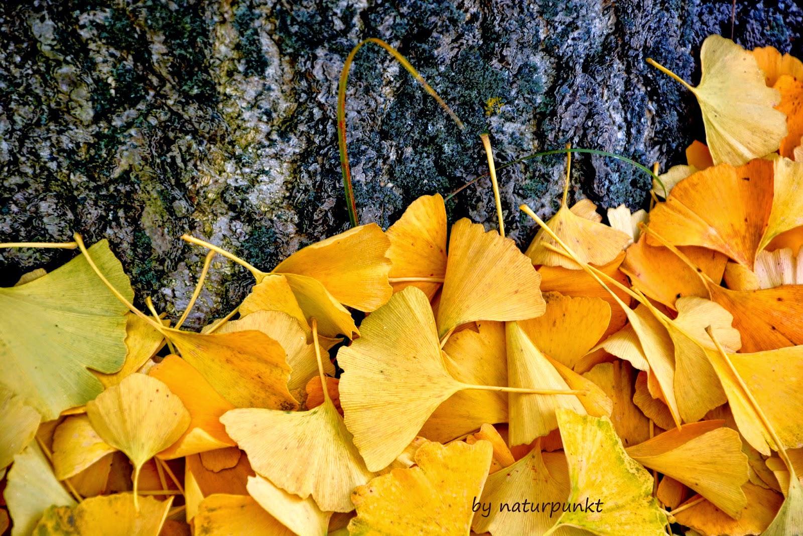 Naturpunkt Ginkgo Biloba Interesting Tree Wisdom And Poem