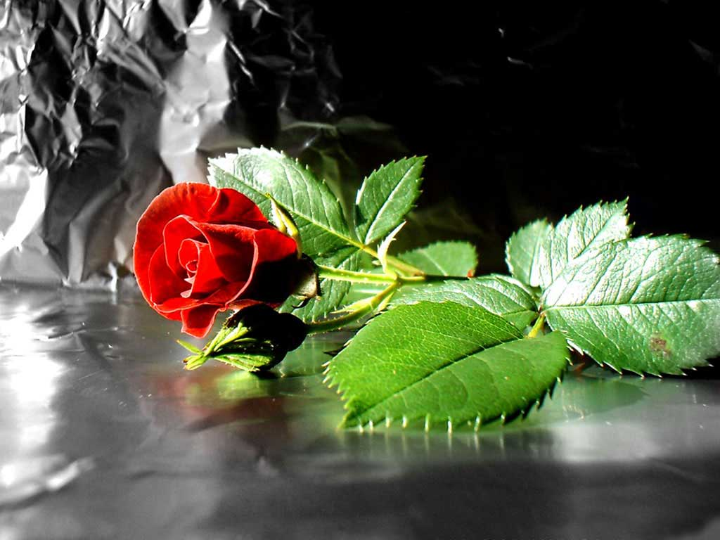 Beautiful Flower Wallpaper Free Download For Mobile: Beautiful Rose Flower Wallpaper