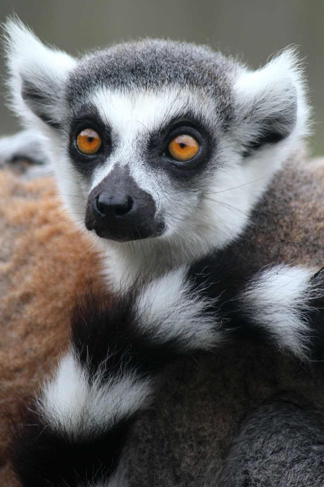 Isle Of Man Photo Diary lemur wildlife park