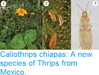 http://sciencythoughts.blogspot.co.uk/2017/07/caliothrips-chiapas-new-species-of.html