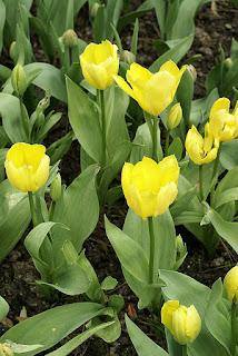 Tulipe forsteriana Candella - Tulipa Candella - Tulipe Candella