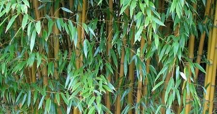 Gambar Daun Bambu