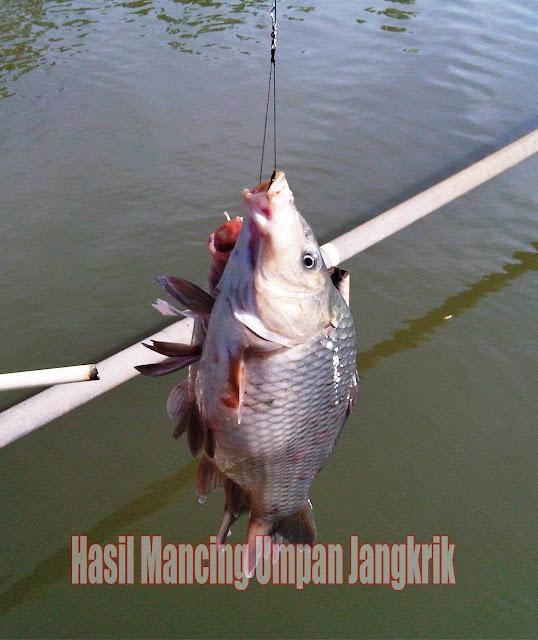 Inilah Umpan Alternatif Untuk Mancing Ikan Patin Order WA 0858-5314-7511 Inilah Umpan Alternatif Untuk Mancing Ikan Patin
