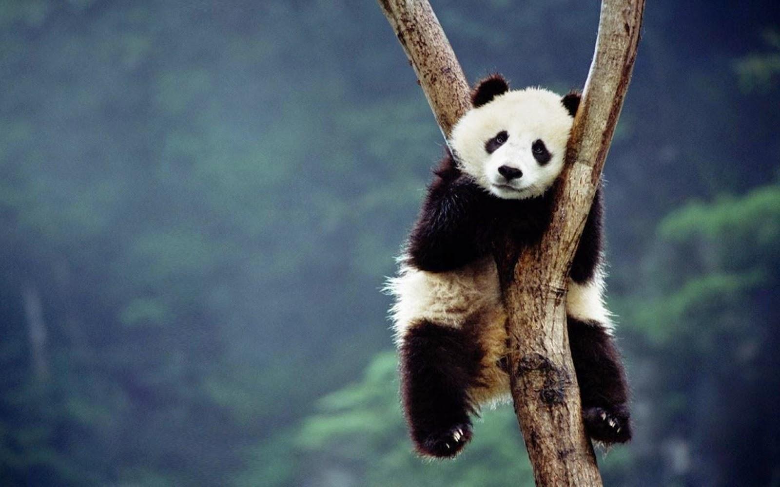 Gambar Panda Lucu Serta Asal Usul Panda  Ayeeycom