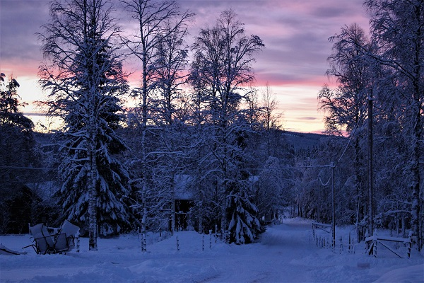 winter in sweden, snö, gryning, snötyngda granar