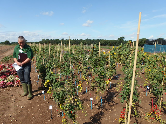 View of the outdoor tomatoes trial