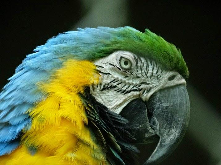 Arara Canindé no Zoológico de Balneário Camboriú