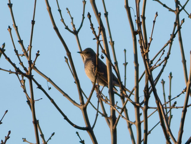 Black-throated Thrush - St Asaph, North Wales