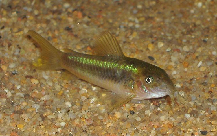 fish pictures bronze corydoras corydoras aeneus. Black Bedroom Furniture Sets. Home Design Ideas