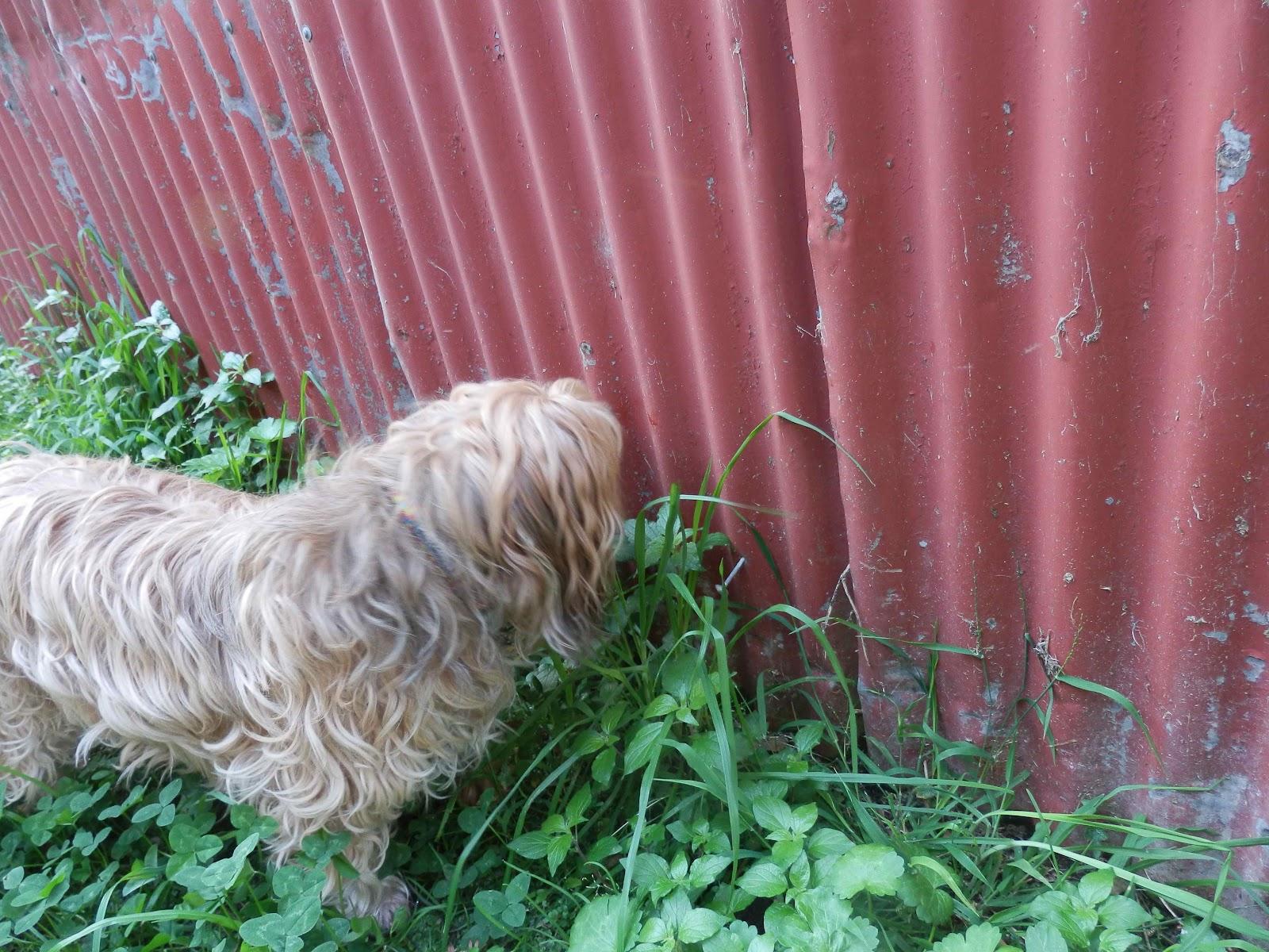 my dog: a dog eats grass after vomiting