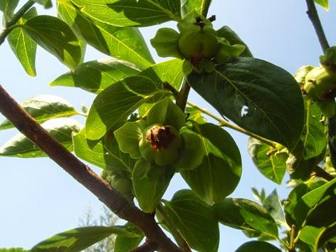 Frutos en el kaki o palosanto