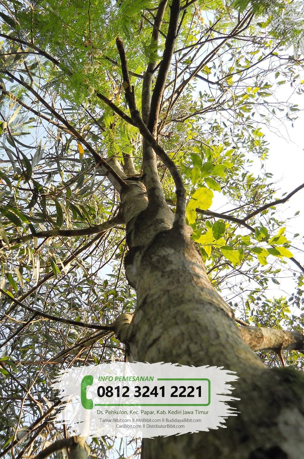 Jual Bibit Pohon Cendana NTT
