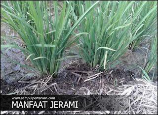 Manfaat jerami untuk pertumbuhan tanaman padi
