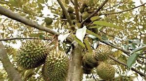 Malam Ledakan Durian Runtuh
