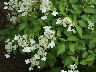 Hydrangea paniculata - Hortensia paniculé - Hydrangée paniculée