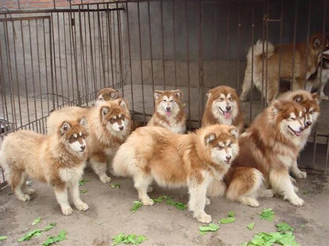 Bệnh viêm phế quản ở chó Alaska