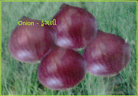 onion seeds in ahmedabad India