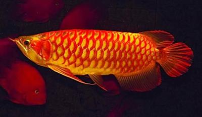 Gambar Ikan Arwana Ultra Red