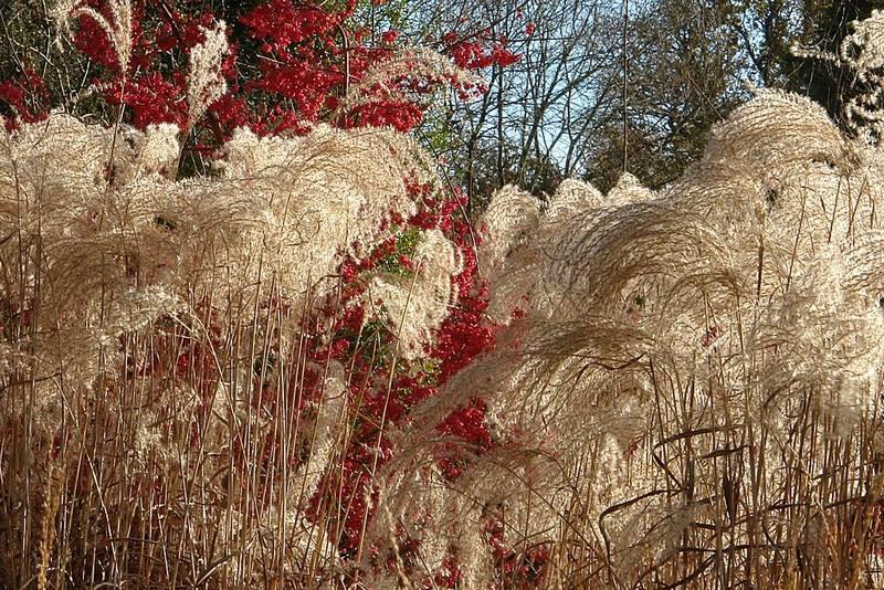 Gramíneas ornamentales especialmente útiles para agregar tonos distintivos a la paleta otoñal del jardín.