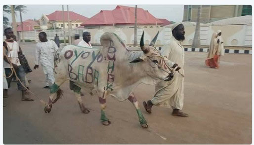 "Baba oyoyo: See ""customized"" cow Northern youths killed to celebrate Buhari's return"