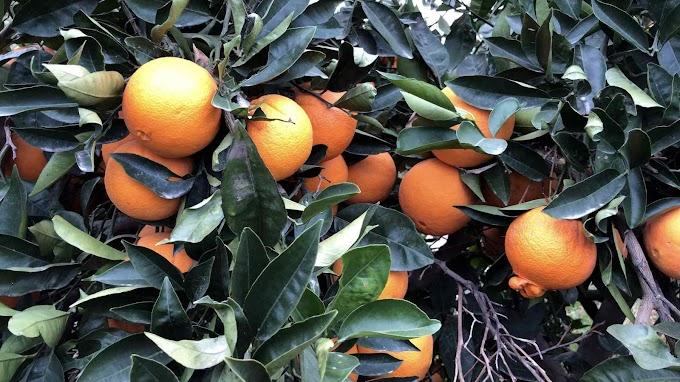 Citrus x Sinensis Var. Navelina