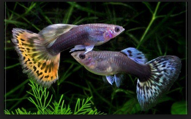 jenis dan harga ikan guppy termahal
