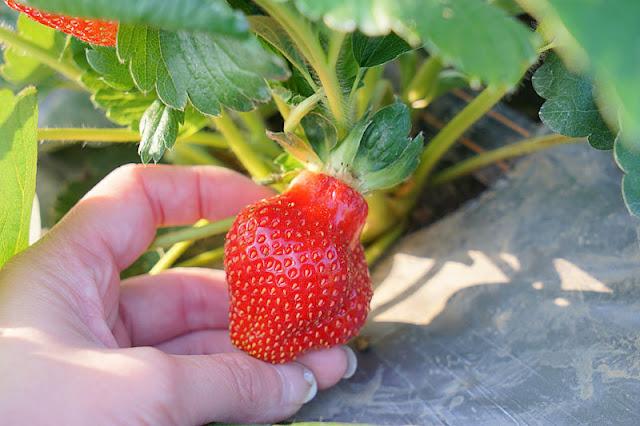 DSC00873 - 台中觀光果園│採草莓不用去大湖,台中草莓世界就在潭子慈濟醫院對面開採囉