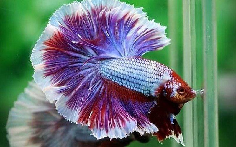 Image and Photo Betta Fish Food Amount
