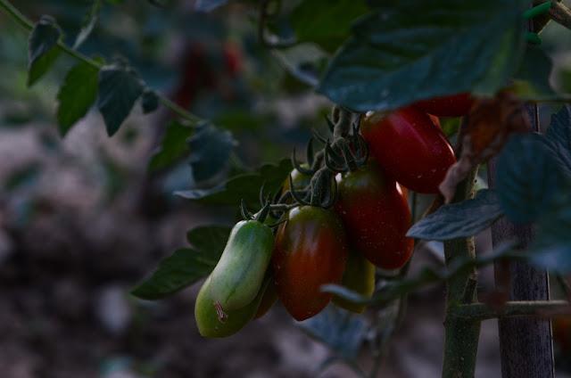 Tomatoes, La Tavola Marche