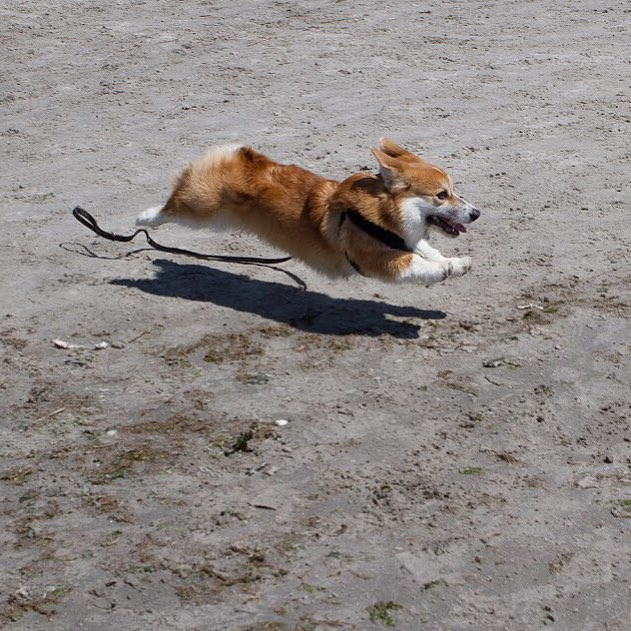 Throwback Thursday 27 Rootin Tootin Splootin Corgis