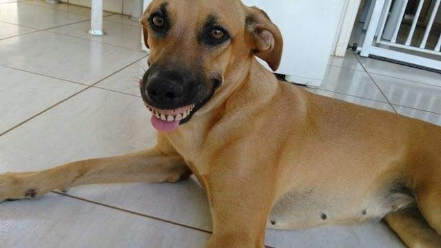 Cachorra acha dentadura, encaixa na boca e quase mata o dono de rir