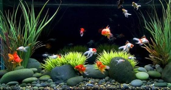 Jenis Ikan Hias Air Tawar Yang Mudah Dipelihara Bagi Pemula Sekalipun