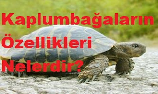 Kaplumbağaların Özellikleri Nelerdir?