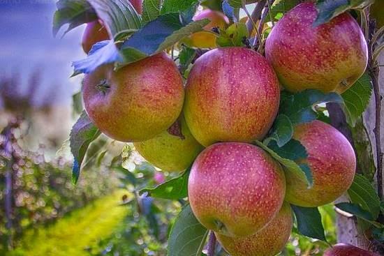 Comer uma maçã por dia afasta o doutor, diz o ditado