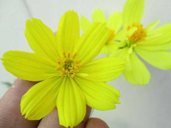 Mewalik Jaya Bunga Cosmos Kuning