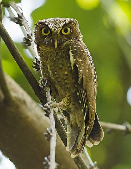 Indian birds - Andaman scops owl - Otus balli