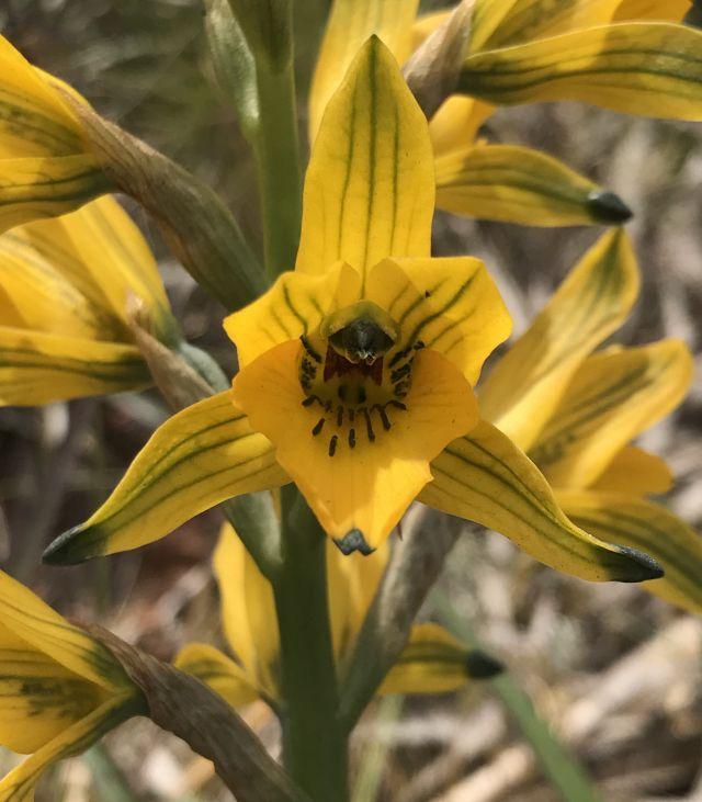 Orquídeas chilenas