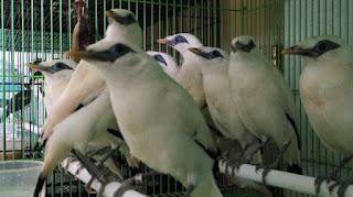 Burung Jalak Bali Masih Muda Bahan Sepasang Bersertifikat Resmi Umur 6 Hingga 8 Bulan