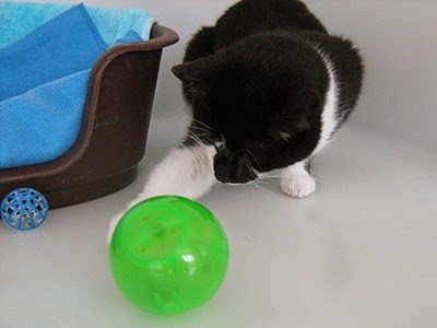 Cat batting a feeding enrichment ball