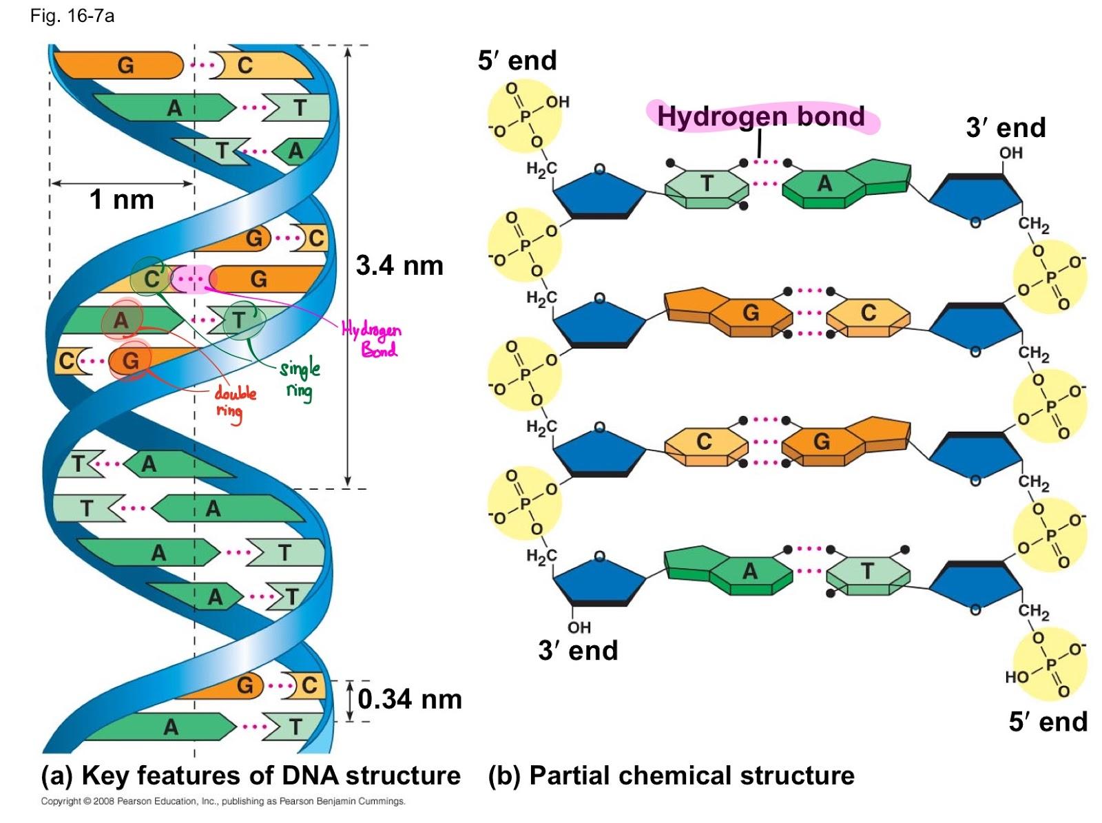 Bi Ol O Gy B Al J Structure Of Dna And Nucleotides
