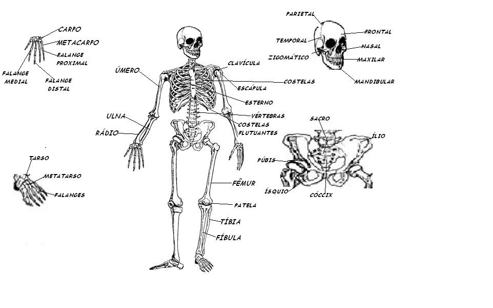 Free coloring pages of los musculos del cuerpo