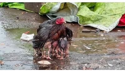 Ayam melindungi anaknya yang jadi viral