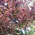 Цвијет трешње: Sakura