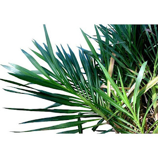 gambar Rumput Gajah Kerdil nama latin  (Pennisetum Purpureum Cv Mott)